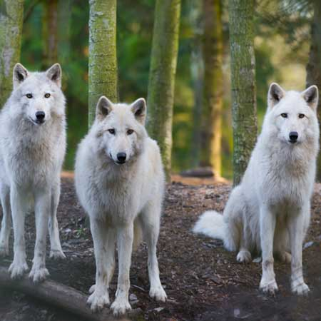 hike and howl at a wolf preserve